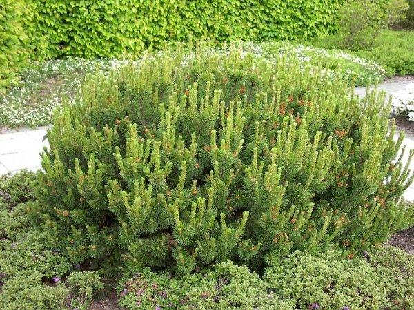 Kosodrzewina w ogrodzie
