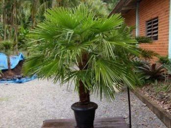 Cudowna palma do uprawy w donicy