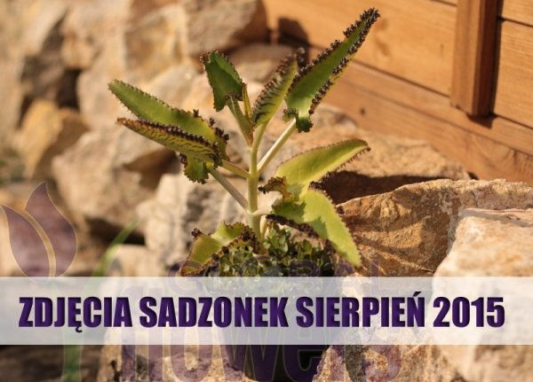 Żyworódka Daigremonta lecznicza roślina