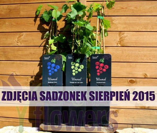 Winorośl odmiany, winorośl cięcie