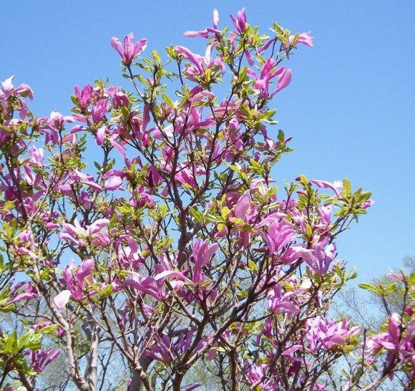 Magnolia o dużych kwiatach