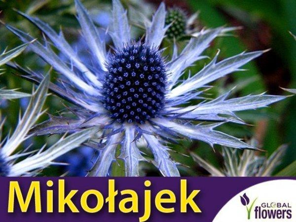 Mikołajek alpejski (Eryngium alpinum) CEBULKA