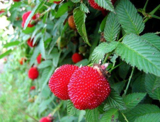 Rubus illecebrosus uprawa