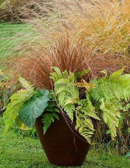 Piękna brązowa trawa do uprawy w doniczce