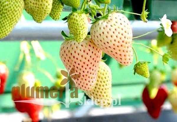 Biała truskawka uprawa odmiany
