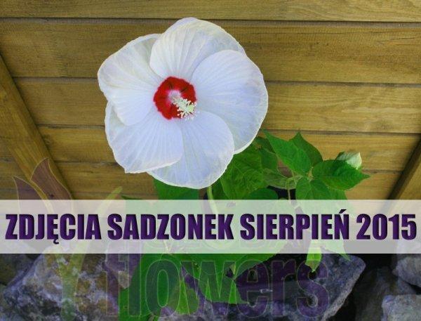 Uprawa hibiskusa bylinowego
