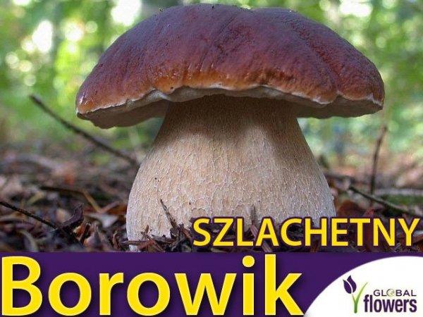 Mikoryza Grzybnia Borowik Szlachetny (Boletus edulis) XXL 100g