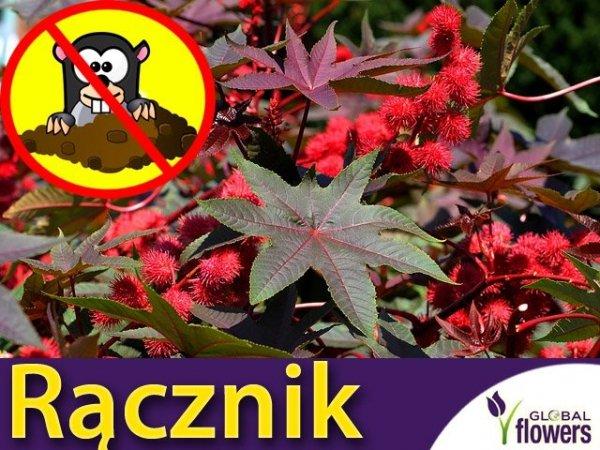 Rącznik czerwonolistny (Ricinus Communis) nasiona