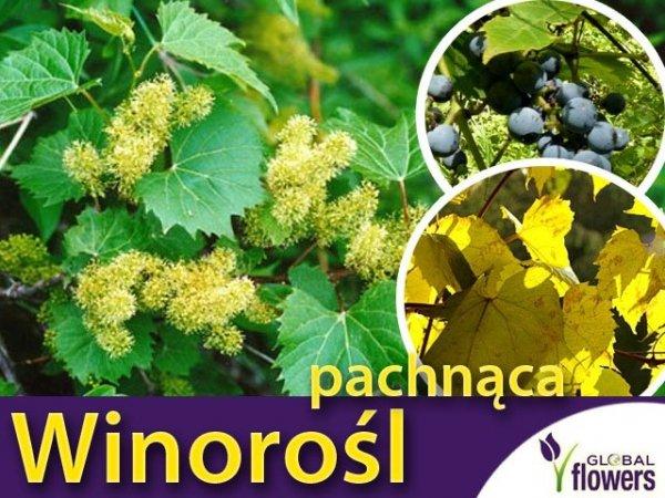 Winorośl pachnąca  na pergole