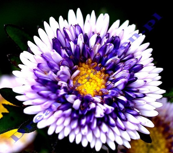 Astry na kwiat cięty