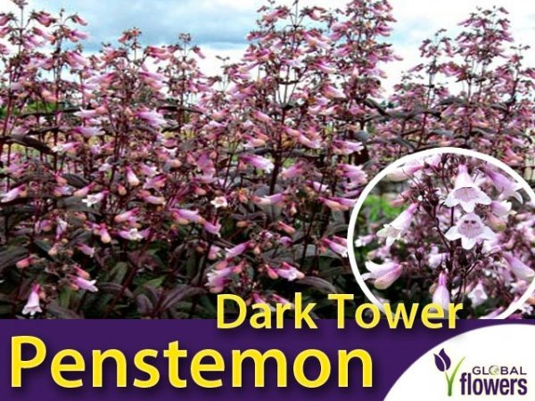 Penstemon 'Dark Tower' sadzonka