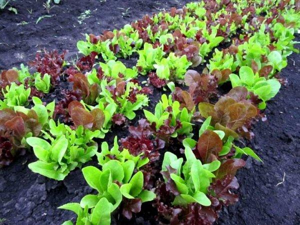 Baby Leaf Mieszanka Włoska 1,5g
