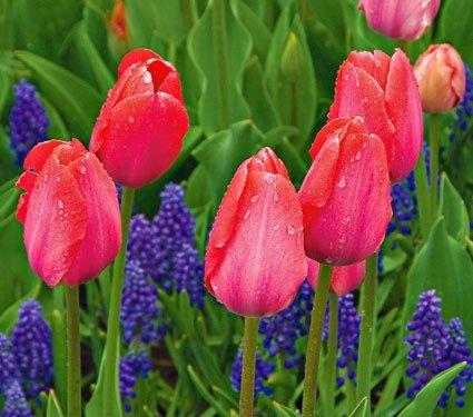 cebulki tulipana Van Eijk