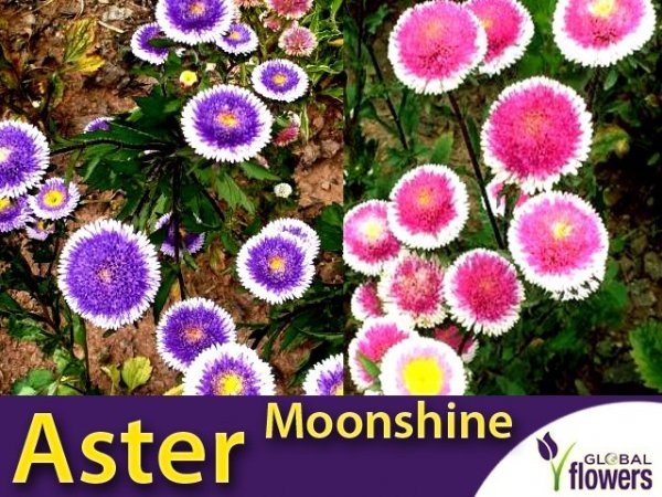 Aster Chiński Liliput Moonshine