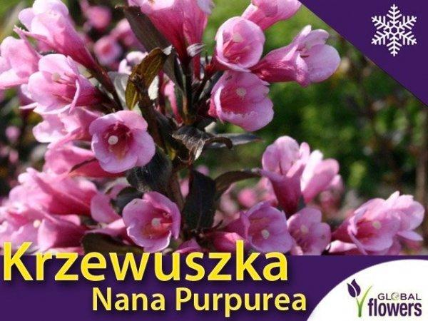Krzewuszka 'Nana Purpurea' (Weigela florida) Sadzonka