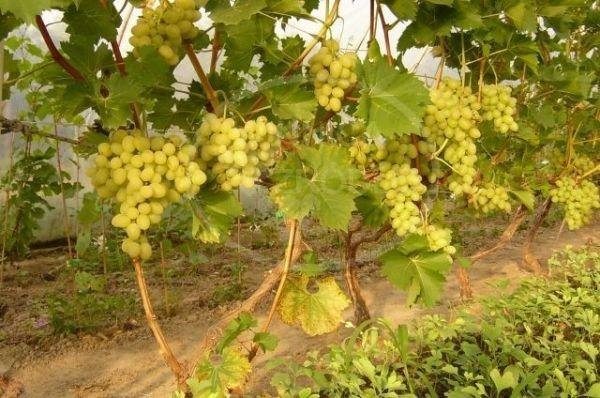 Winorośl Arkadia uprawa
