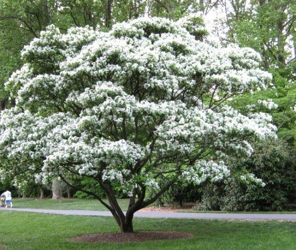 Kwitnący śniegowiec wirginijski sadzonki