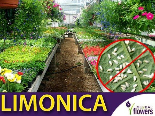 limonica ochroń swoje uprawy, pokonaj szkodniki w szklarni