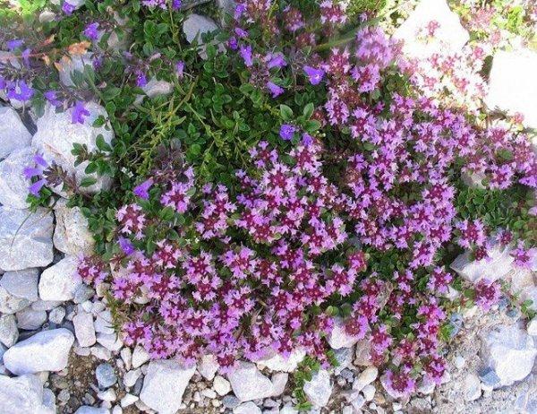 Cudnie kwitnący tymianek