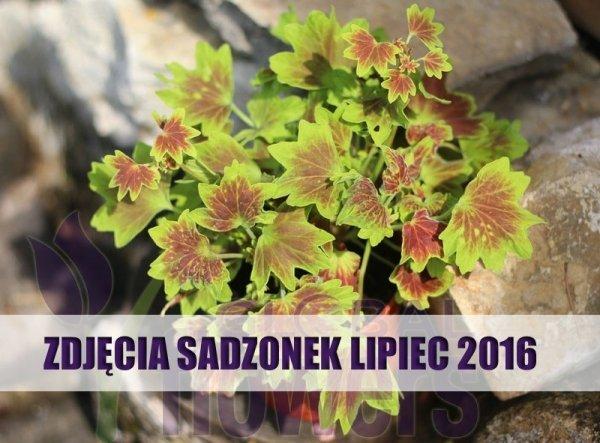 Pelargonium zonale, pelargonia, piękne liście