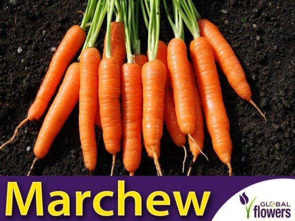 Marchew Nantes 3- Nantejska Średnio Wczesna (Daucus carota) XXL 500g