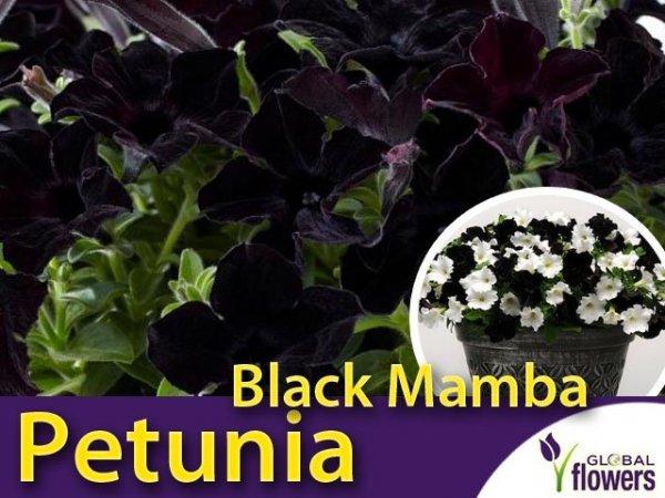 Petunia Crayzytunia 'Black Mamba' Sadzonka