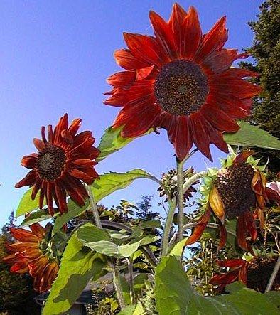 Słonecznik ozdobny- bordowy z czarnym środkiem