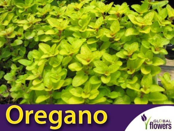 Oregano 'Aureum Gold' (Origanum vulgare) SADZONKA