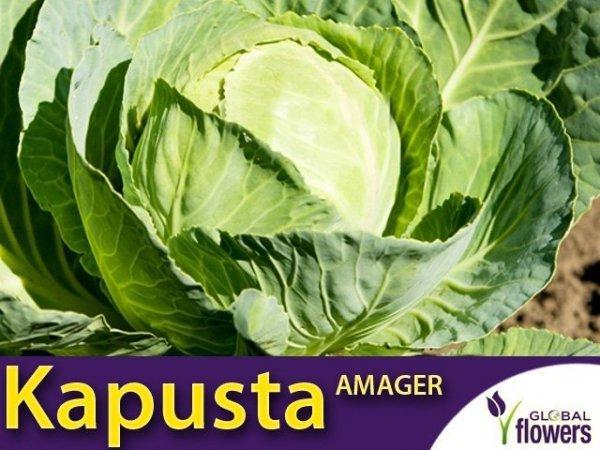 Kapusta Amager - (Brassica oleracea Convar. Capitata var. Alba) L 50g