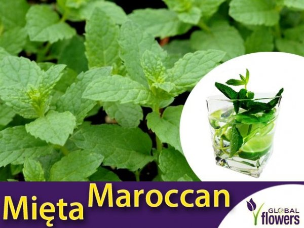 Mięta Marokańska (Mentha spicata Moroccan) Sadzonka