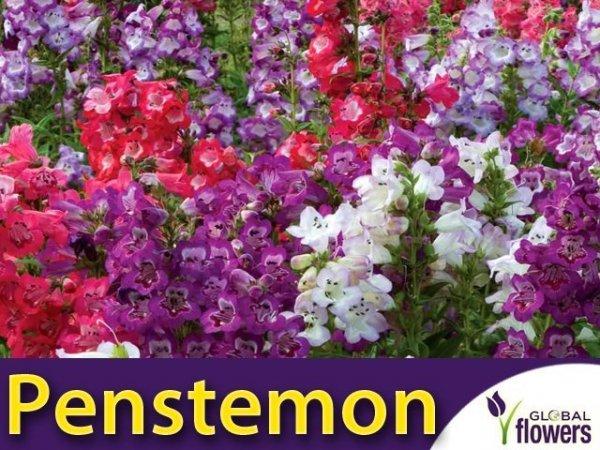 Penstemon, mieszanka (Penstemon gentianoides)