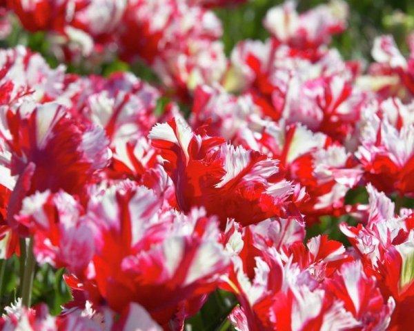 tulipany papuzie cebulki