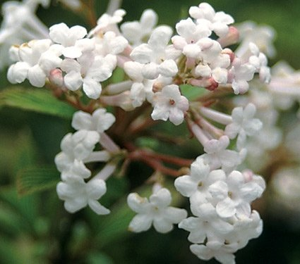 Kalina Wonna Nanum biało–różowe kwiaty