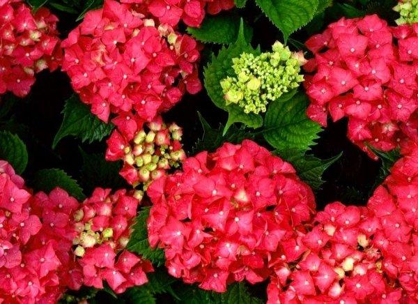 Hydrangea macrophylla uprawa