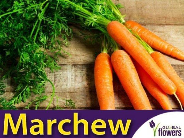 Marchew Amsterdam 2 Wczesna (Daucus carota) XXL 500g