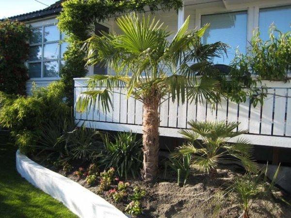 Piękna palma Mrozoodporna