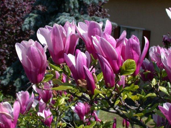 Mrozoodporna magnolia