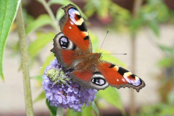 budleja motyli krzew sadzonki