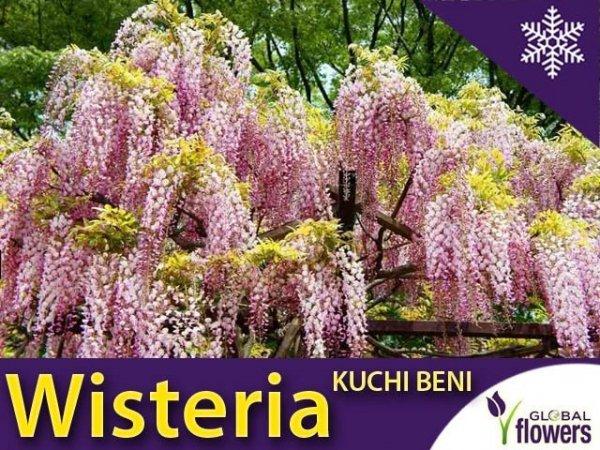 Wisteria Glicynia kwiecista 'Kuchi-Beni' Sadzonka (Wisteria floribunda)