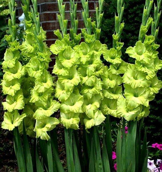 zielony mieczyk cebulki