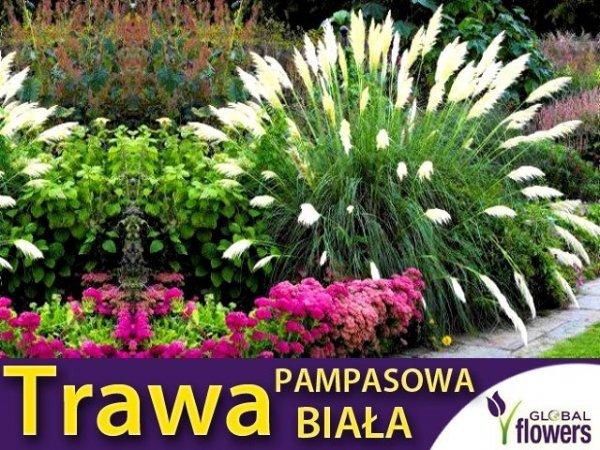 Trawa Pampasowa biała (Cortaderia selloana) Sadzonka