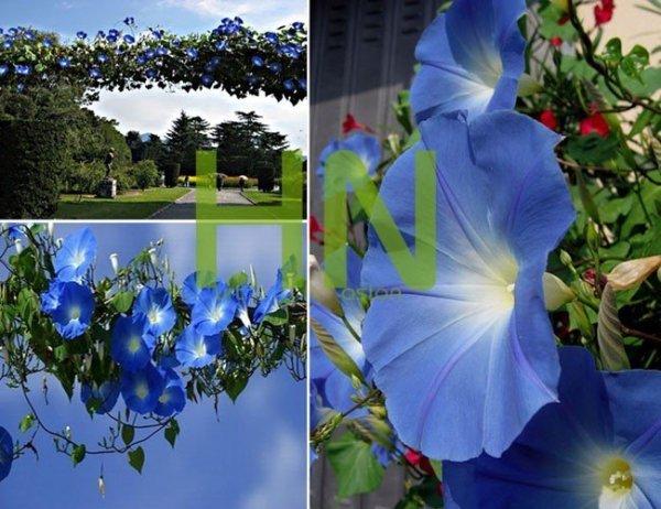 Heavenly Blue (Ipomoea tricolor) Niebiańskie pnącze