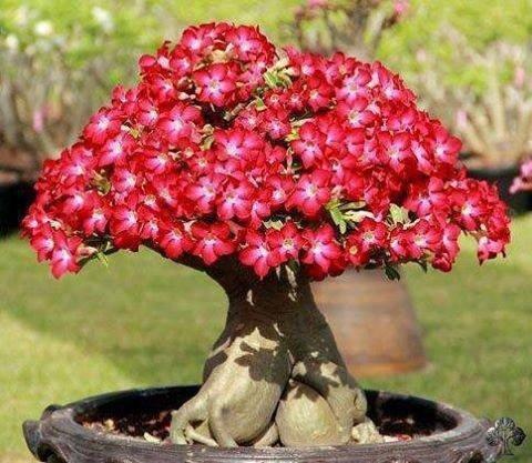 Adenium nasiona