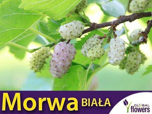 Morwa Biała Sadzonka (Morus alba) Smaczne Owoce