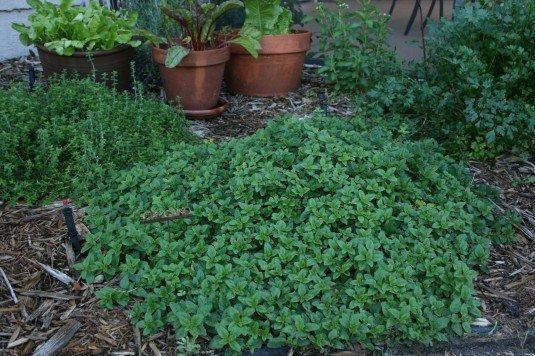 aromatyczne oregano gotowa roślina