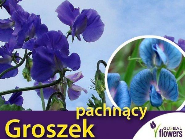 Groszek pachnący niebieski (Lathyrus odoratus) 3g
