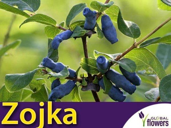 Jagoda Kamczacka Sadzonka - odmiana Zojka