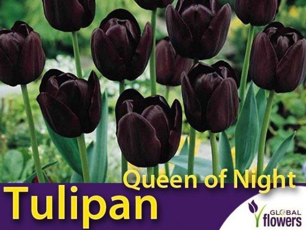 Tulipan pojedyńczy późny 'Queen of Night' (Tulipa) CEBULKI
