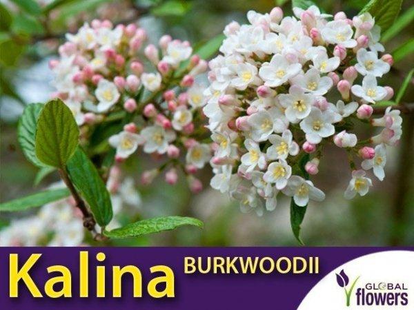 Kalina Burkwoodii (Viburnum burkwoodii) Sadzonka