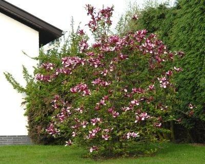Jak wygląda Magnolia purpurowa 'Nigra'